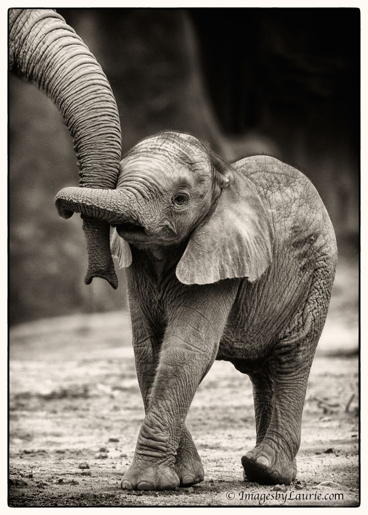 Baby Elephant Hug by Laurie Rubin, 500px: 6 week old baby elephant with her older brother. #Elephant