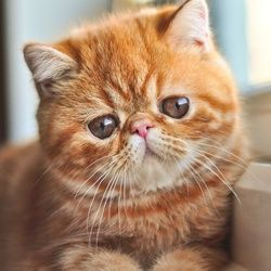 Les races de chats et leurs comportements (Photos) - Choisir son chat - Wamiz