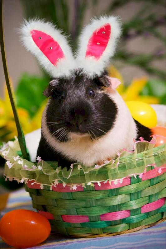 132 best images about guinea pigs on pinterest dress up - Chiquitoweb com ...