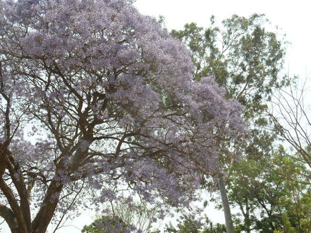 #Jacaranda and #BlueGum #Trees in #Blantyre #Malawi #Eucalyptus