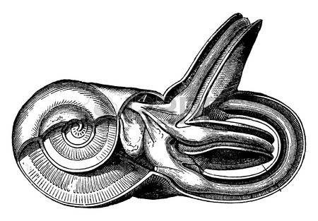 oreille interne: L'oreille interne, vendange, gravure. Illustration