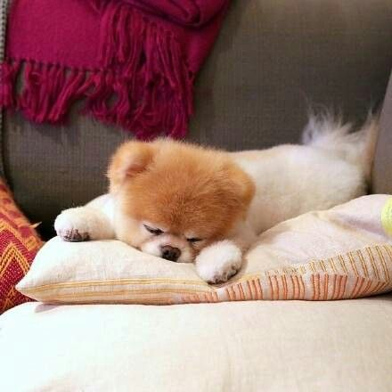 14 best direitos da criana images on pinterest child rights boo the pomeranian dog sleeping fandeluxe Image collections