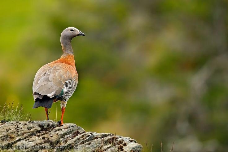 mis fotos de aves: Cauquén real [Chloephaga poliocephala] Ashy-headed...