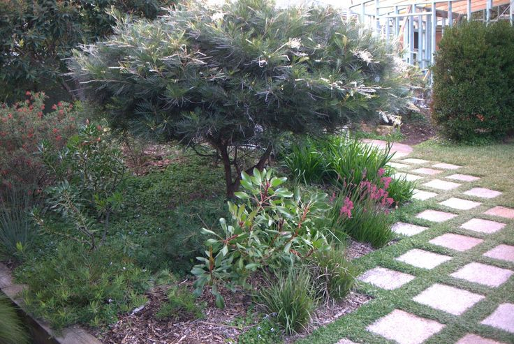 The garden close to the deck is full of Kangaroo Paws, Grevilleas and Proteas as this is a spot in the all day sun. Here you can see Grevillea 'Ivory Whip', Grevillea 'Duea Flame' beside it and an underplanting of the dwarf kangaroo paw Anigozanthos 'Bush Pearl'.