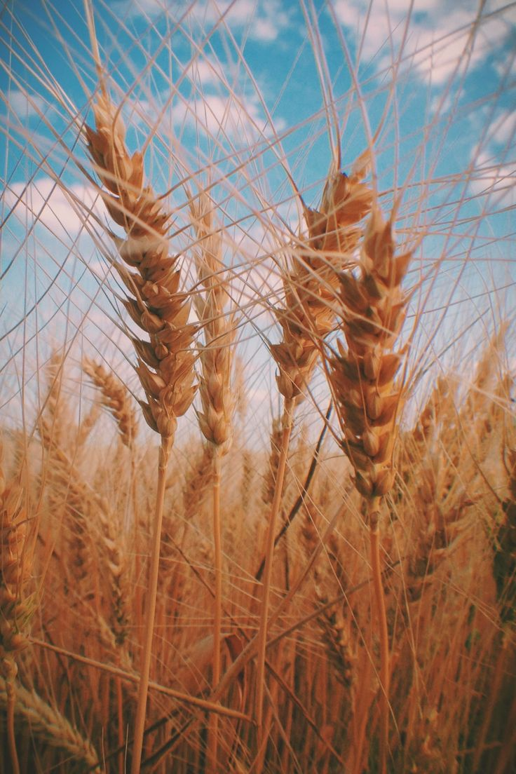 Wheat field in Weir, TX (Williamson County) - photo by Renee Johns