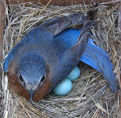 Bluebird ~ Is it no wonder, they call this bird, the bluebird of happiness.