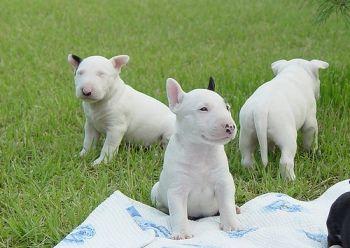 Donde Comprar un Bull Terrier http://www.mascotadomestica.com/criaderos-de-perros/donde-comprar-un-bull-terrier.html