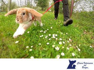 https://flic.kr/p/WqaU3P | Los conejos son animales muy astutos. CLÍNICA VETERINARIA DEL BOSQUE 2 | LA MEJOR CLÍNICA VETERINARIA DE MÉXICO. Los conejos suelen ser muy astutos y rápidos. Para escapar de un depredador, un conejo de rabo blanco se desplazará en forma de zigzag y alcanzará velocidades de hasta 29 km por hora. En Clínica Veterinaria del Bosque te invitamos a visitar nuestra página web www.veterinariadelbosque.com, para conocer nuestros servicios. #veterinariadelbosque