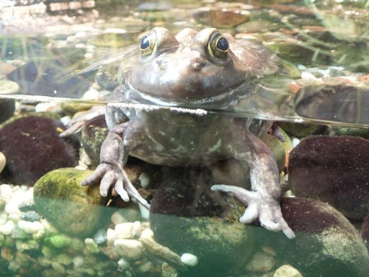 Pond Frog photo.2017