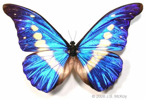 """Morpho rhetenor helena butterfly This is one of the most incredible butterflies! No matter what light it is in, the blue seems to glow as is from its own power source-- absolutely electric. The morpho (that word means """"change"""") family of butterflies are from South America, and are so called because of the shimmering iridescence of their scales."""