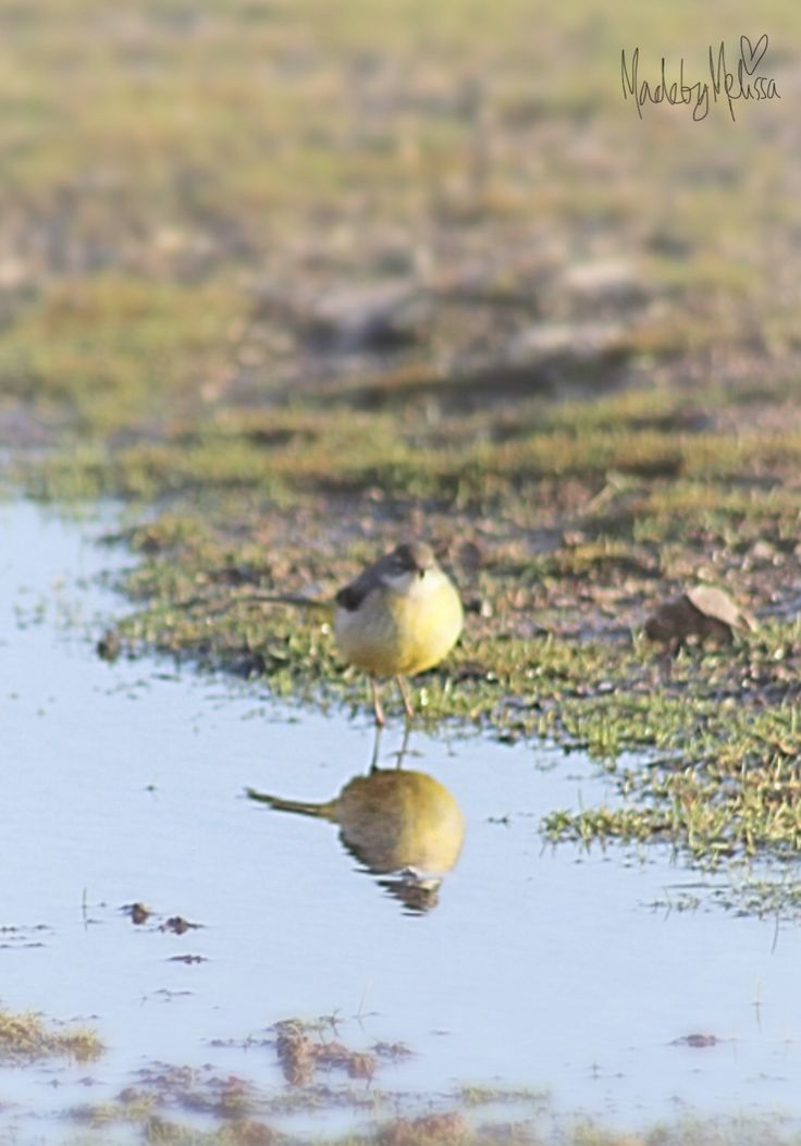 Yellow wagtail Original photography by Melissa roberts 2017
