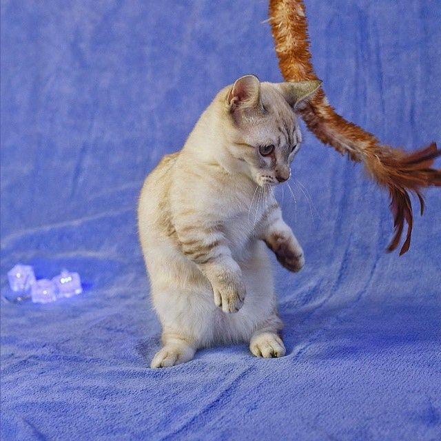 Каспер - кот такса. #манчкин #кошкатакса #котгусеница #котэ #суперкот #мимими #питомник ##питомниккошек #munchkin #munchkincat #cat