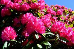 Nadia Mikushova. A Rhododendron tree blossoming in early spring. Stock Photo