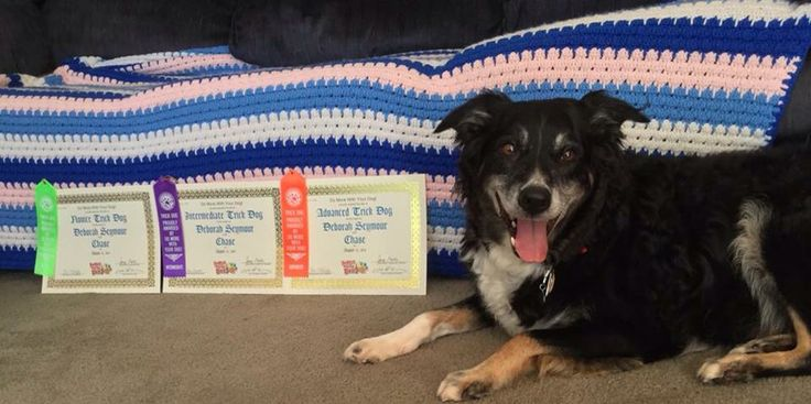 Chase earned his Novice, Intermediate and Advanced trick dog titles from www.domorewithyourdog.com  So proud of him!!! #domorewithyourdog #dogtricks #dogs #bordercollies #kyrasundance #animals #fun #tricks