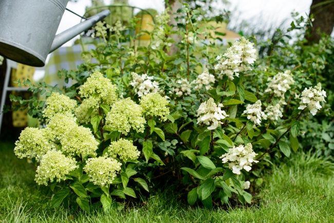 Geef vooral voldoende water in het voorjaar en in de zomer. Lees meer verzorgingstips op www.mooiwatplantendoen.nl. #mwpd #tuin #garden