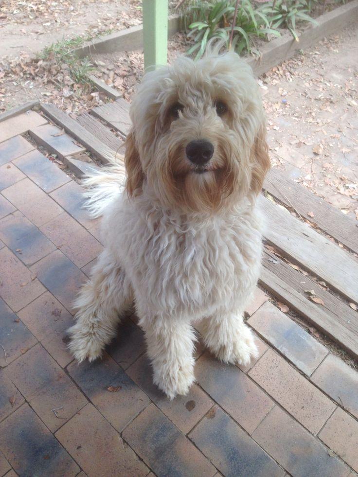 Charlie Groodle Pawshake Chermside Pawshake Australia