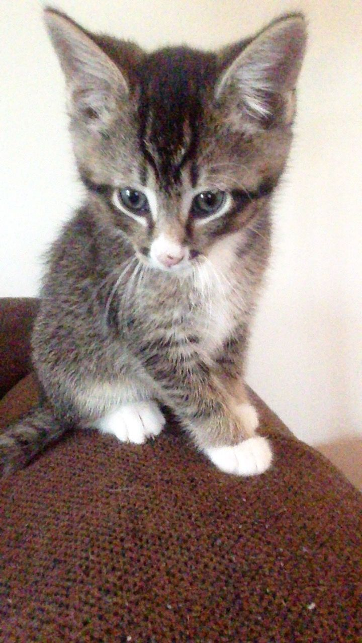 Pin By Amanda Brennan On My Rescue Kitten Gus And His Brother Runt Kittens Kitten Rescue Animals
