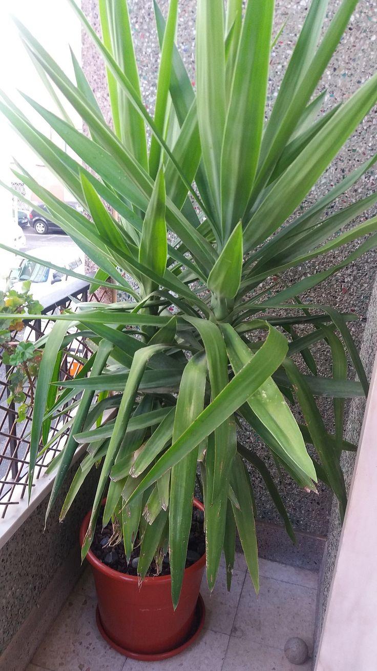 """Yuca-elefante - """"Yucca elephantipes"""". Planta oferecida pela mana. Agora muito mais alta. Vaso 2€."""