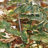 Tomato Plant Diseases
