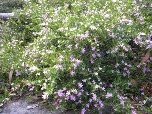 green cape crowea, groundcover, flowers autumn