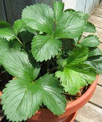 Indoor Strawberry Plant Alpine Strawberries Are Supposed
