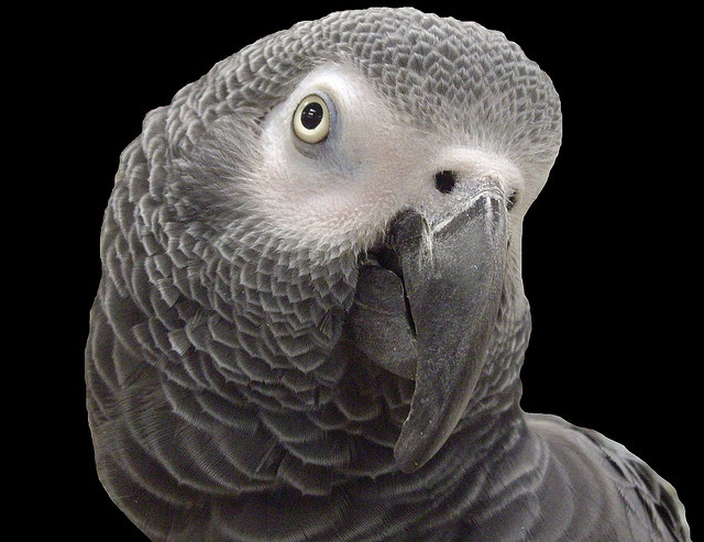 Concrete gray  African Grey Parrot by KoolPix, via Flickr- mani pedi color combo inspiration....