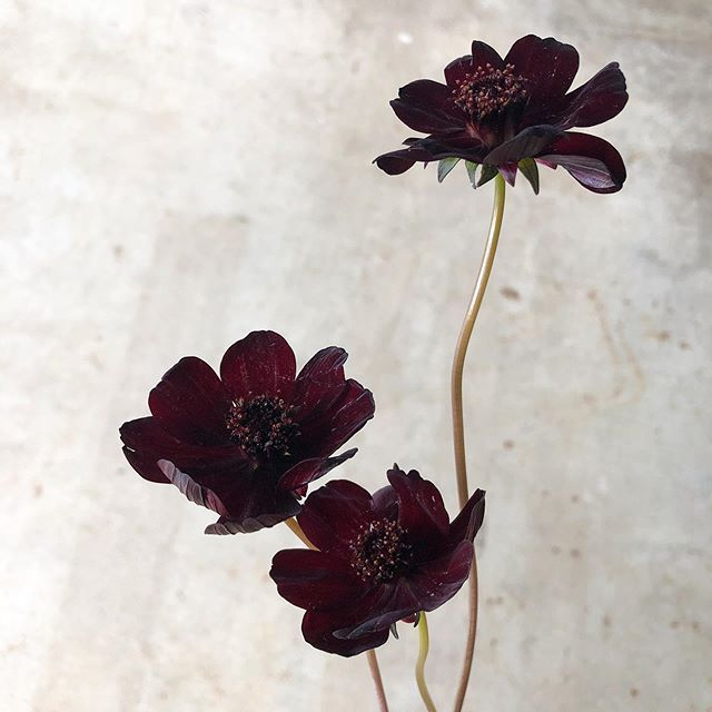 Deep Dark Florals In 2020 Evergreen Flowers Chocolate Cosmos Flowers