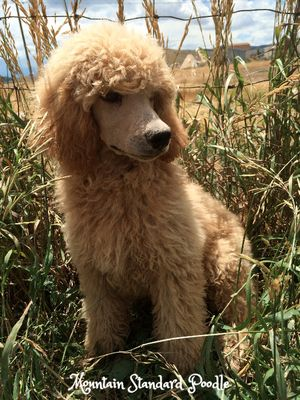 Standard poodle puppies for sale #lovemountainstandardpoodle