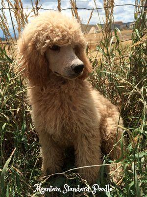 Standard poodle puppies for sale #lovemountainstandardpoodle