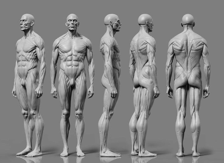 57 best Men anatomy reference images on Pinterest | Human anatomy ...