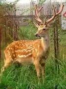 South China sika deer