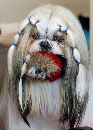 Shih Tzu Dog Grooming Cuts Time To Get Your Shih Tzu
