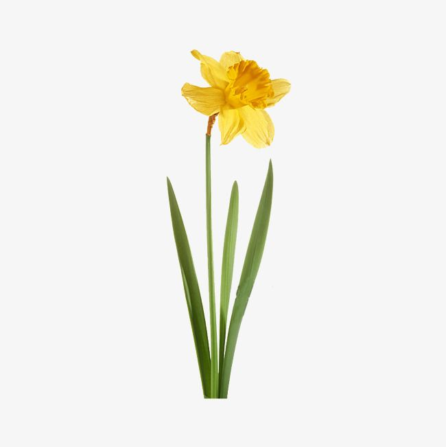 Yellow Daffodil Yellow Green Botany Png Transparent Clipart Image And Psd File For Free Download In 2020 Daffodils Yellow Daffodils Daffodil Tattoo