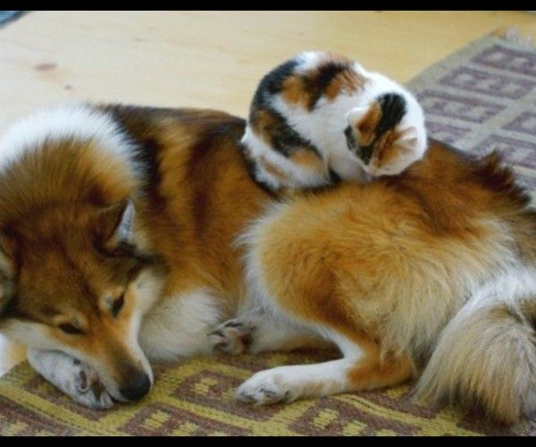 19 chats endormis sur des chiens - Yummypets.com #Cats #sleep #dogs #cuteoverload #animal
