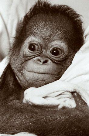 Bebê orangotango! A cara dessa criaturinha vai te fazer sorrir!