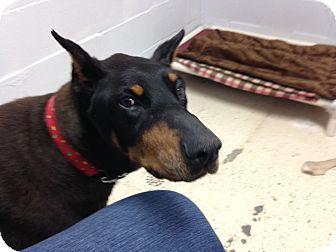 Garden City, MI - Doberman Pinscher Mix. Meet Daisy May, a dog for adoption. http://www.adoptapet.com/pet/14958088-garden-city-michigan-doberman-pinscher-mix
