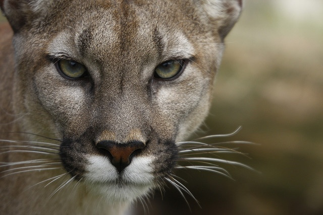 Stunning Cougar~Lovely~ I saw a cougar on a recent road trip, it wouldn't get off the road!!  Beautiful Creature.