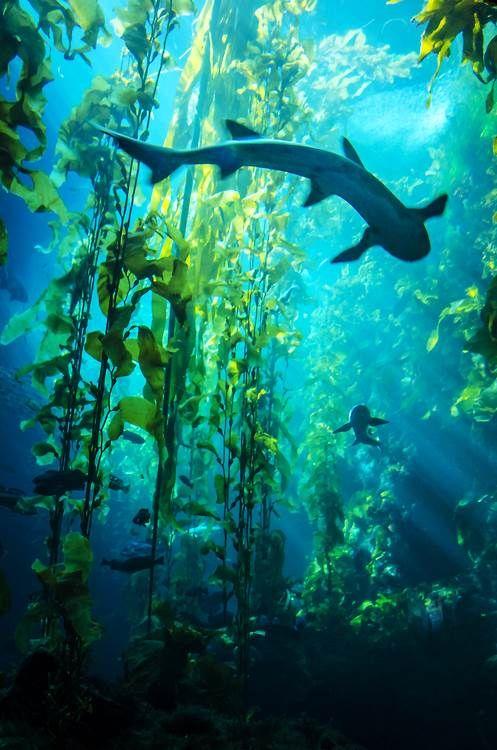 Algas marinas de arrecife y  tiburón