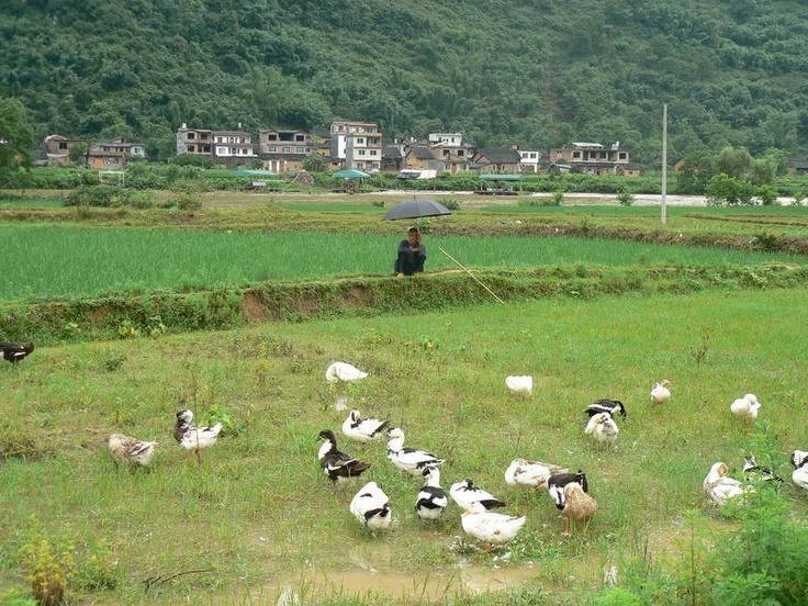 Le surveillant de baignade des canards #china #yangshuo
