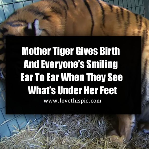 The beginning of life is a beautiful thing. BBC Earth has incredible footage of a mother Tiger giving...