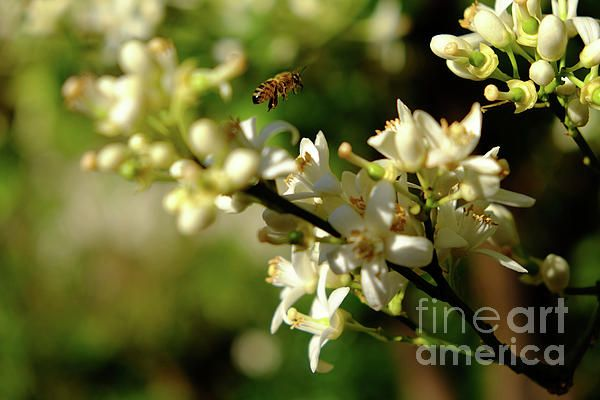 Photography: Bee amongst the flowers. Photo by Tracey Everington of Tracey Lee Art Designs