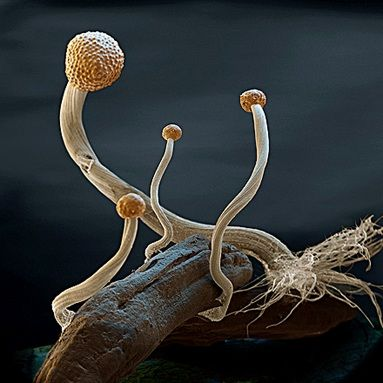 Magnified view of a fruiting Claviceps purpurea sclerotia (fungus)