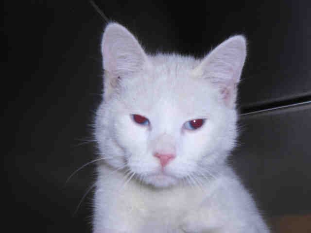 Pittsburgh, PA- PetHarbor.com: Humane Society, SPCA. Lost & Found. SASHA - ID#A215361  I am a spayed female, white Domestic Shorthair.  The shelter staff think I am about 7 months old and I weigh approximately 6 pounds.  I have been at the shelter since Nov 05, 2016.
