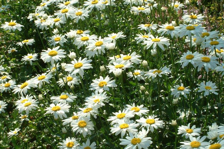 Wiesen-Margerite 'Filigran' (Leucanthemum vulgare )