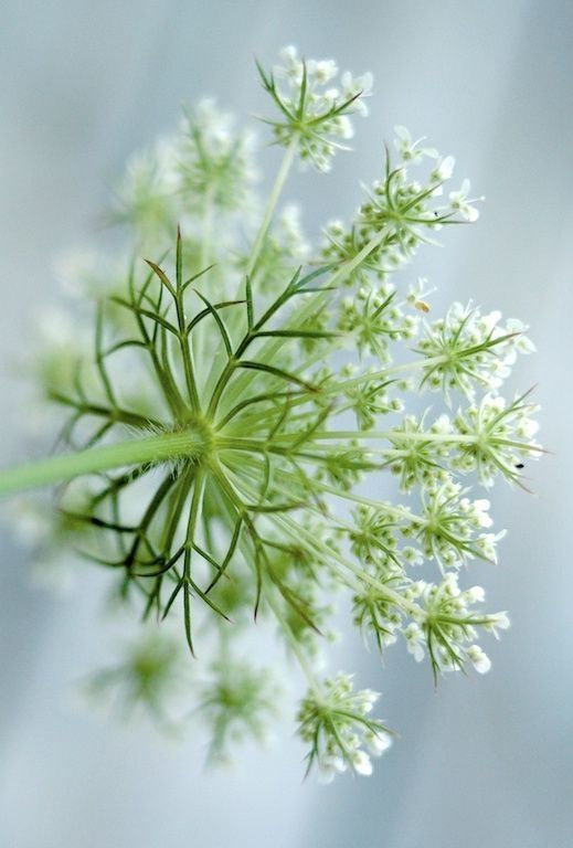 Queen Anne's Lace by heather  #flowers
