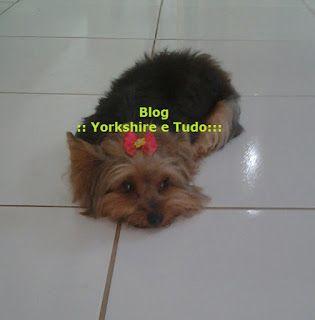 :: Yorkshire e tudo :::: Cuidado ao comprar um Yorkshire!