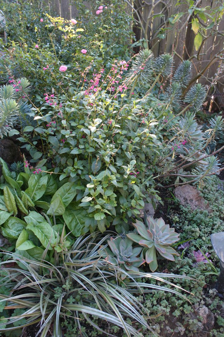 Star Apple Edible Gardens.  Roses, euphorbia, astelia, graptoveria in perfect harmony with edible leafy greens and herbs. Modern Potager (ornamental vegetable/kitchen garden)