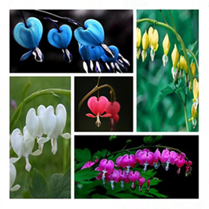 100 Dicentra Spectabilis seeds Bleeding Heart classic cottage garden plant, heart-shaped flowers in spring, ferny foliage [Affiliate]
