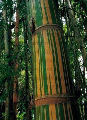 Giant Black Bamboo Seeds