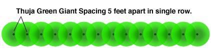 Thuja Green Giant Spacing.  Single Row.